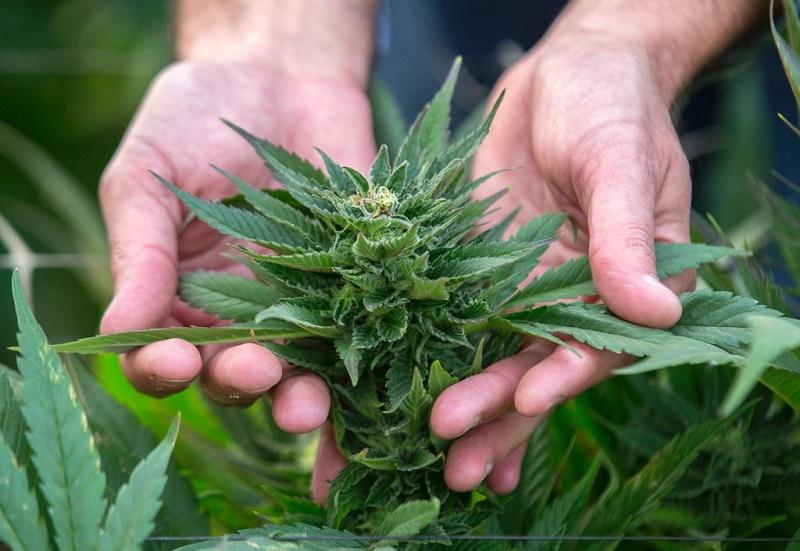 benefits of marijuanas